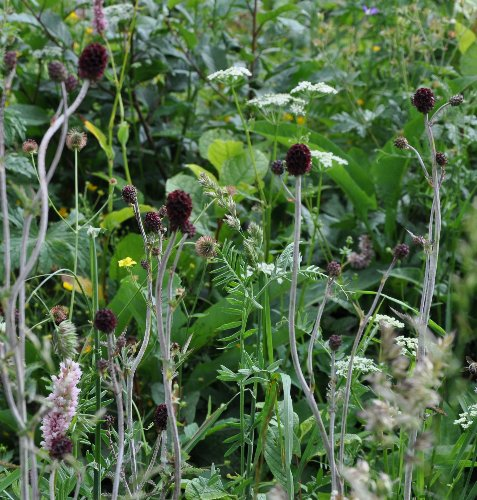 Allium sphaerocephalon - ail à tête ronde Copy_o34