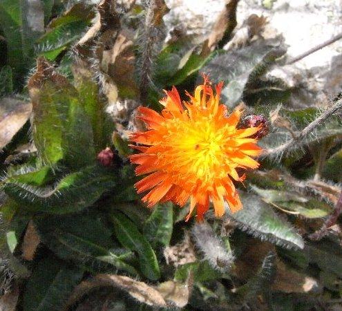Pilosella aurantiaca (= Hieracium aurantiacum) - piloselle orangée Copy_o36
