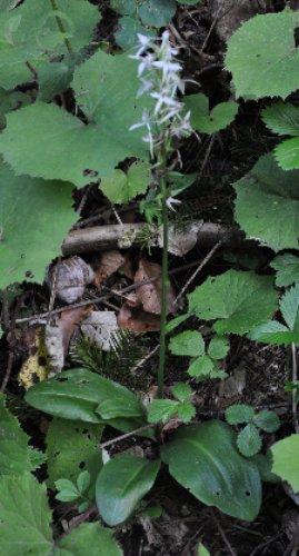 Platanthera bifolia - platanthère à deux feuilles Copy_o41