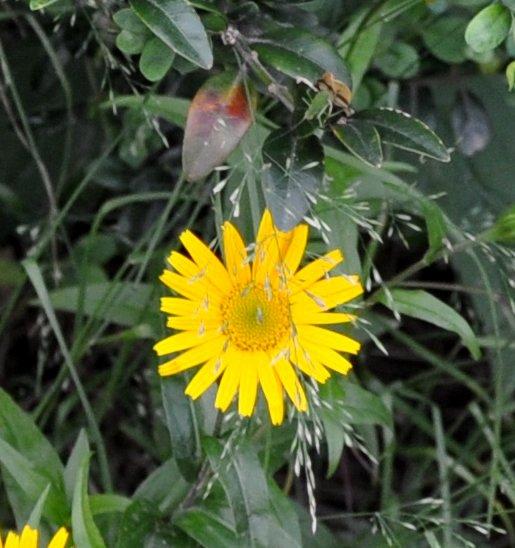 Buphthalmum salicifolium - buphtalme, oeil de beuf Copy_o44