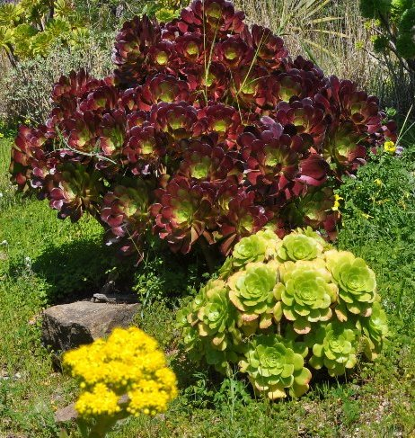 Aeonium arboreum 'Atropurpureum' - Page 2 Copy_o47