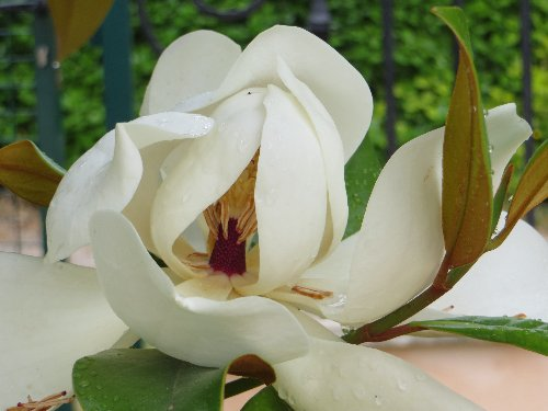 Magnolia grandiflora Dabut_22