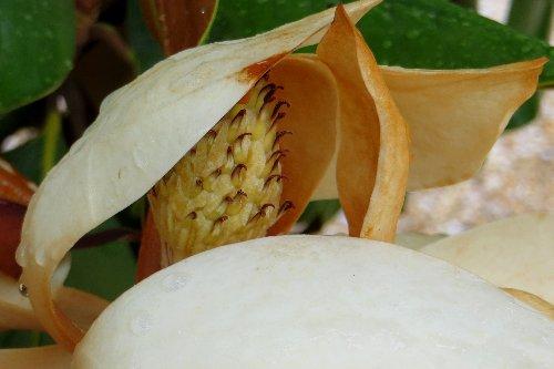Magnolia grandiflora Dabut_23