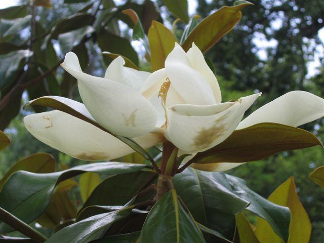 Magnolia grandiflora Divers10