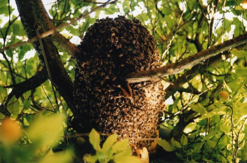 Abeilles,ruches,stages...... Essaim10