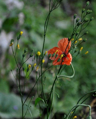 Papaver dubium subsp. dubium - pavot douteux Juille28