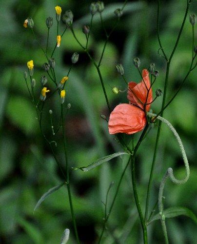 Papaver dubium subsp. dubium - pavot douteux Juille29
