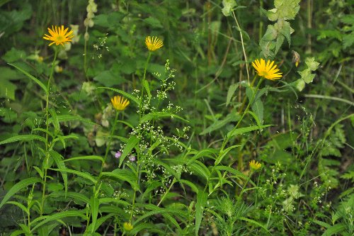 Buphthalmum salicifolium 2 [identification] Juille34