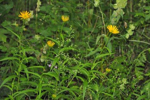 Buphthalmum salicifolium - buphtalme, oeil de beuf Juille35