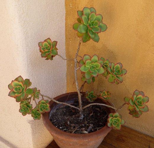 Aeonium arboreum 'Atropurpureum' - Page 2 Juille39
