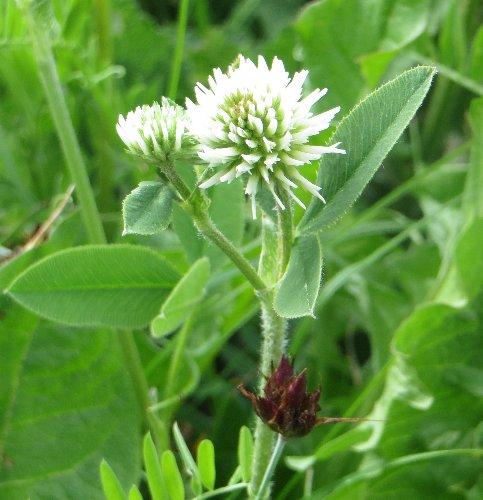 Trifolium montanum - trèfle de montagne Juin_217