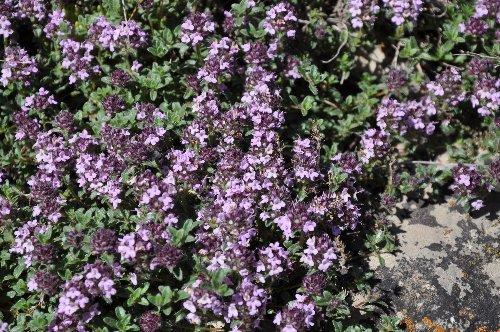 Thymus serpyllum - serpolet ou thym serpolet  Serpol10