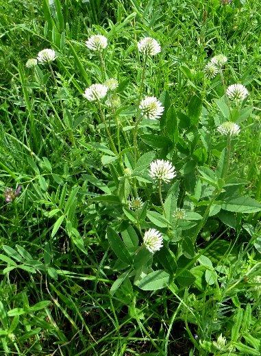 Trifolium repens - trèfle rampant Trifol10