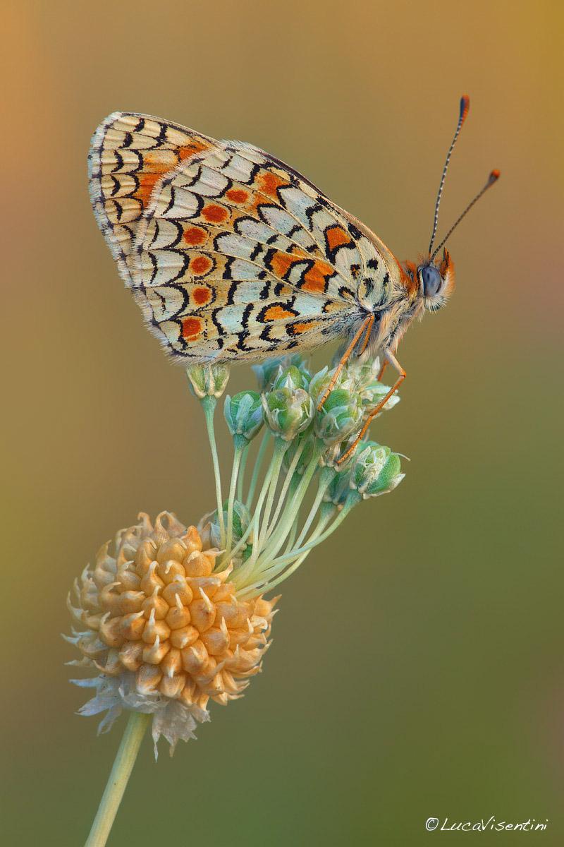 Melitaea phoebe Colore10