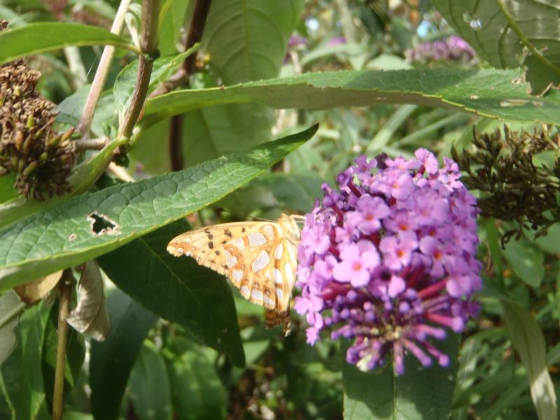 Issoria lathonia P9070111