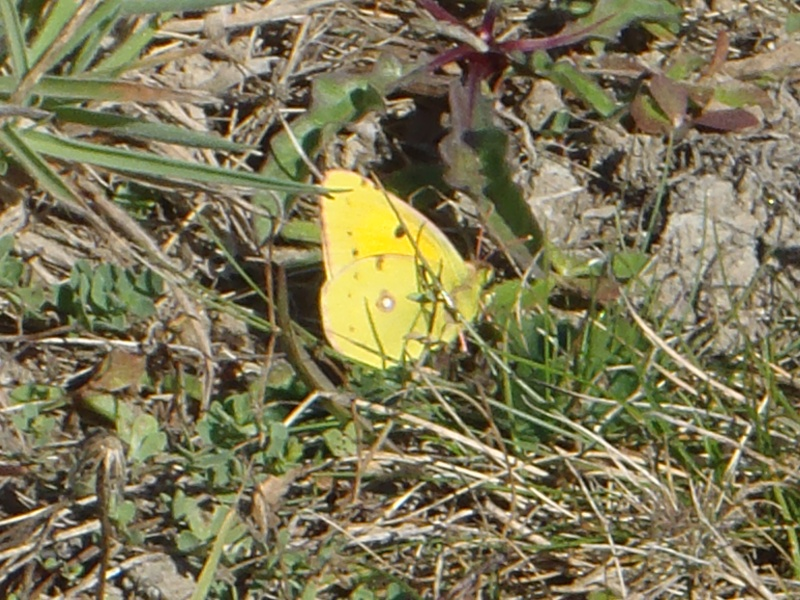 Souci (Collias croceus) P9300215