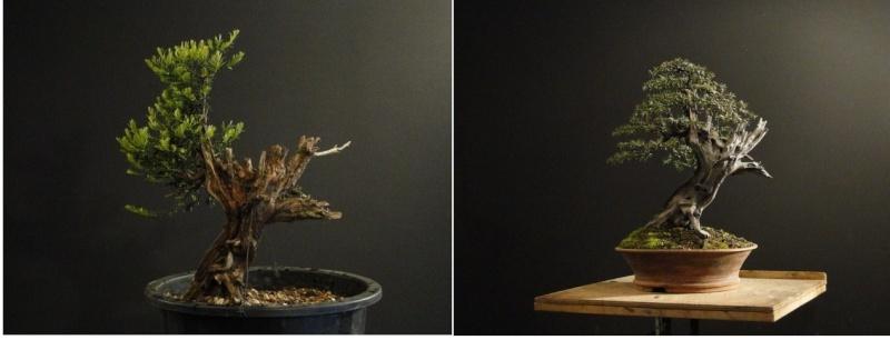 Taxus Baccata. Por Pavel Slovak Antes_10