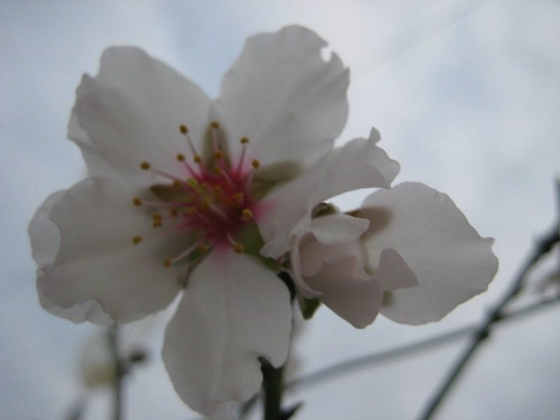 La flor del almendro Img_1711