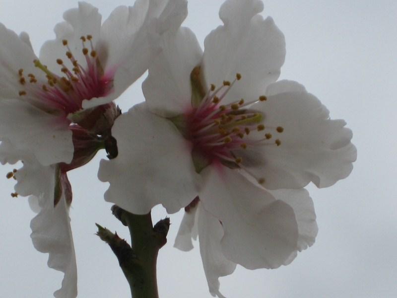 La flor del almendro Img_1712
