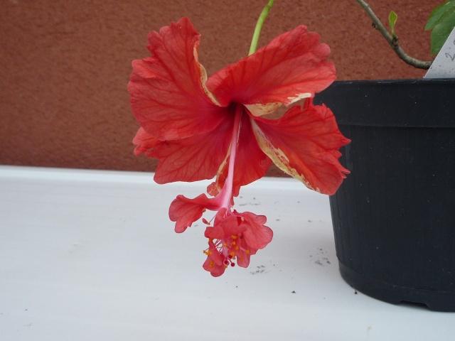 Hibiscus ' El Capitolo ' P1010412