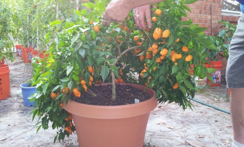 Pruning and harvesting peppers at the same time 7-15-110