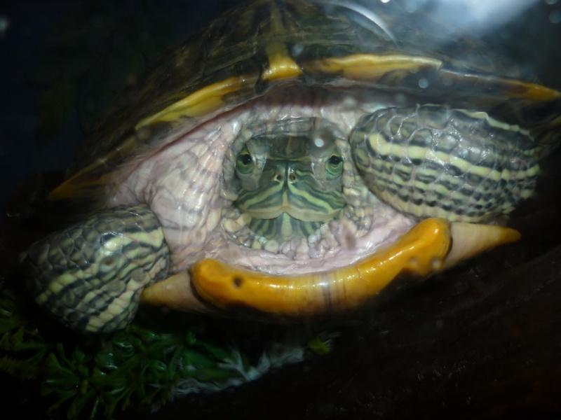 rougeur peau tortue d'eau - Page 2 P1000510