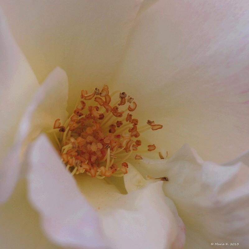 Au coeur de la rose  avec filtre  !  P6160210