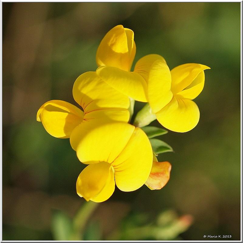 Petite fleur  sauvage ! P7140510