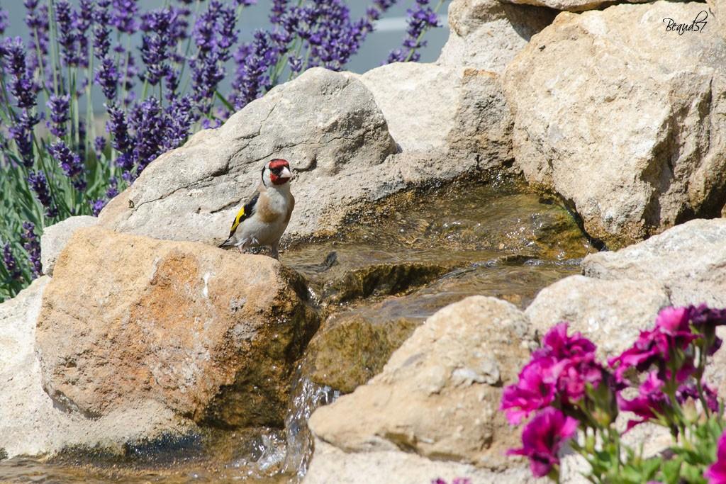 Création d'un bassin - Page 3 Oiseau10