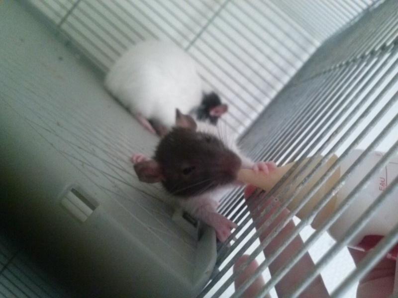 petit raton 3 semaines  Cam02912