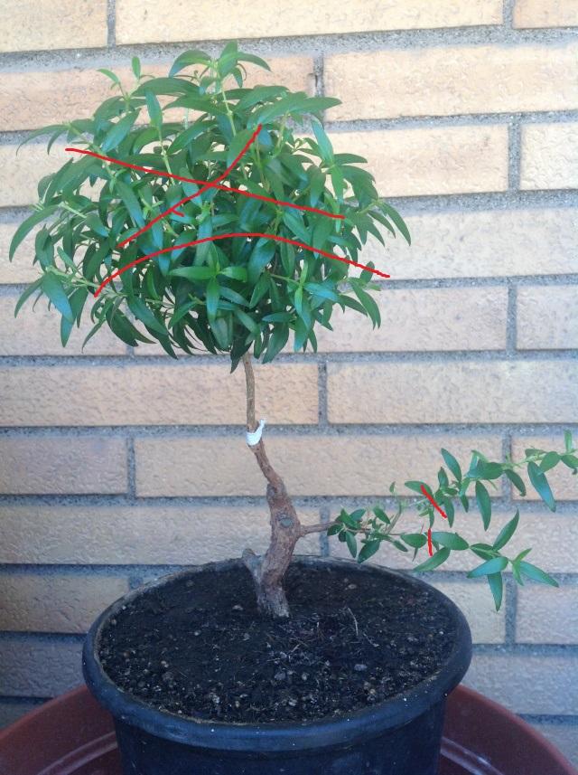 da mirto da vivaio a futuro bonsai - Pagina 2 Foto_i10