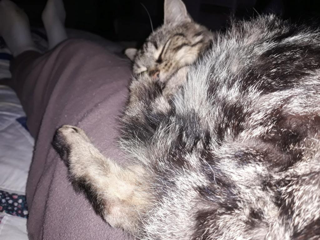 Choupette, femelle type européenne tigrée estimée née 03/03/2012 20181113