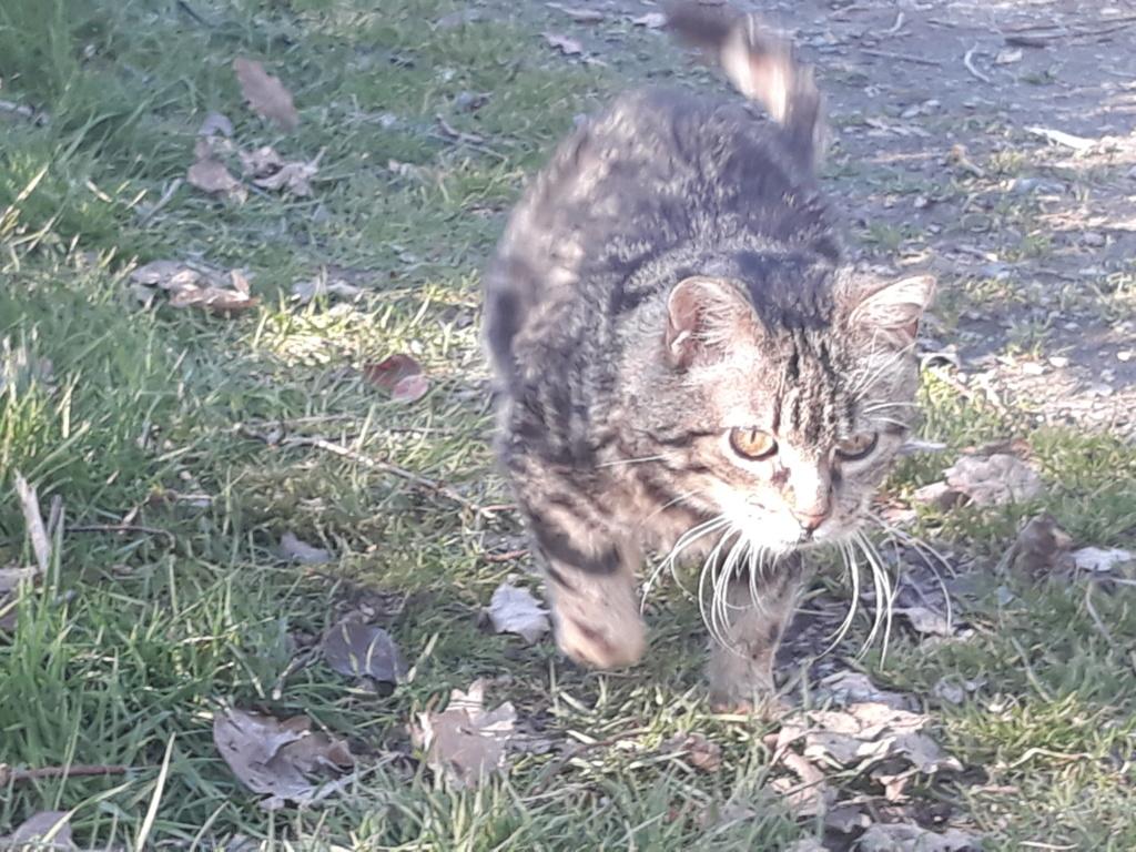 Choupette, femelle type européenne tigrée estimée née 03/03/2012 - Page 3 20190217
