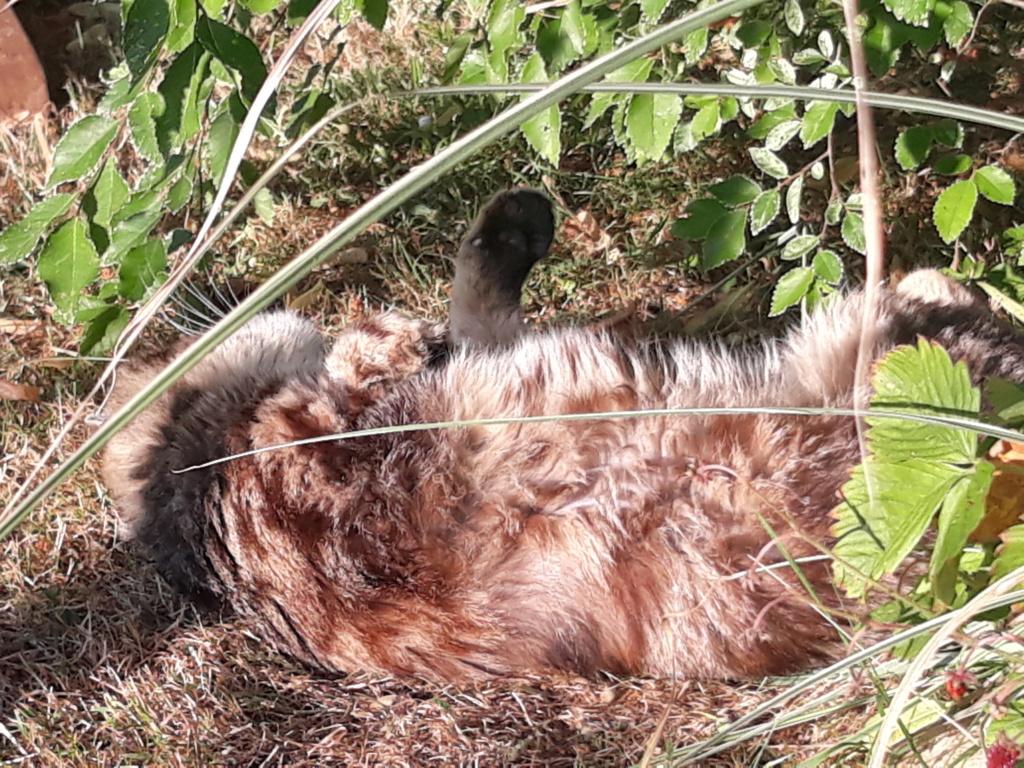 Choupette, femelle type européenne tigrée estimée née 03/03/2012 - Page 4 20190713