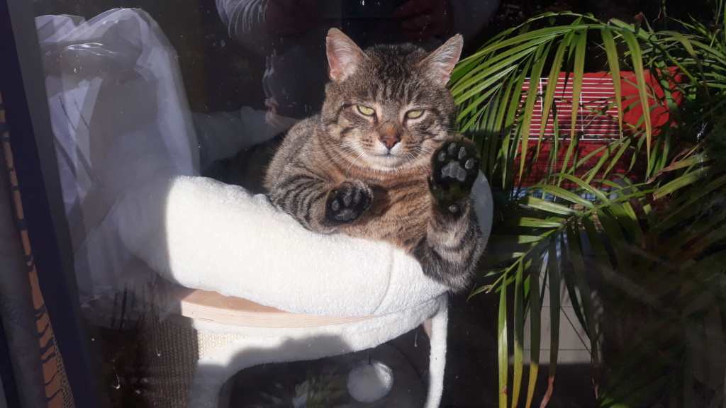 Tigris, mâle type européen tabby né le 15 mars 2014 20200117