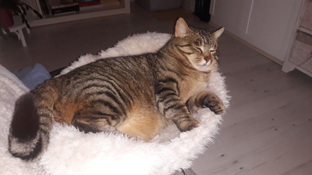 Tigris, mâle type européen tabby né le 15 mars 2014 20200120