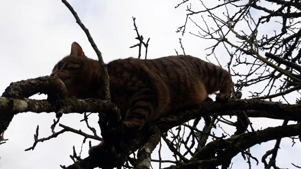 Tigris, mâle type européen tabby né le 15 mars 2014 20200213