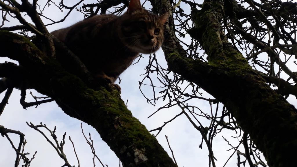 Tigris, mâle type européen tabby né le 15 mars 2014 20200214