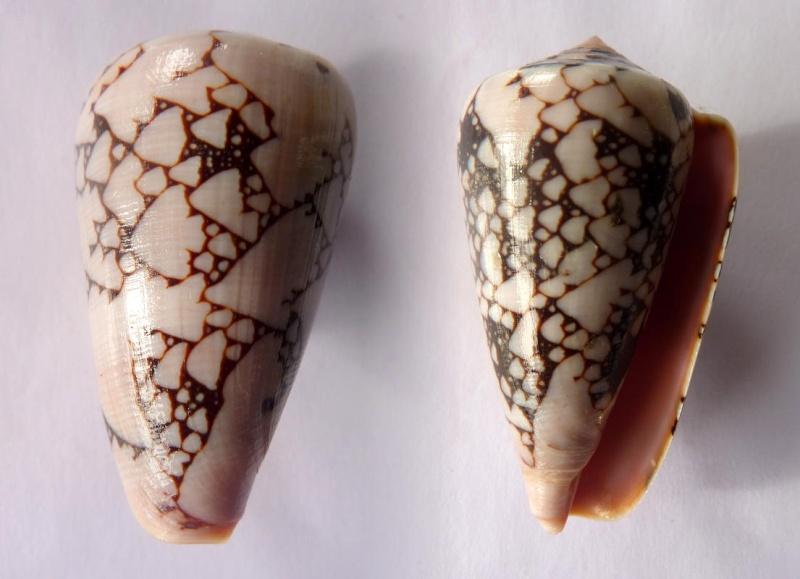 Conus (Darioconus) lohri   Kilburn, 1972 Conus_12