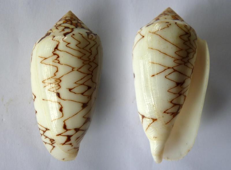 Conus (Cylinder) archiepiscopus concatenatus   Kiener, 1850 Conus_13