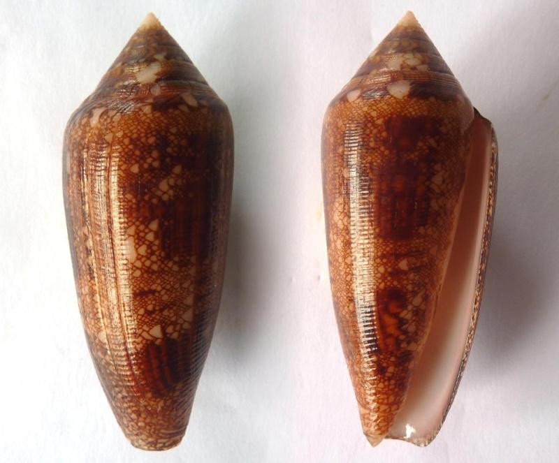 Conus (Cylinder) aureus paulucciae   GB Sowerby III, 1887 Conus_14