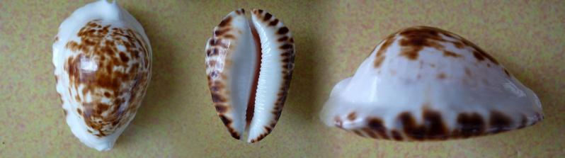 Zoila ketyana bataviensis - Lorenz & Morrison, 2001 Cyp_ke10