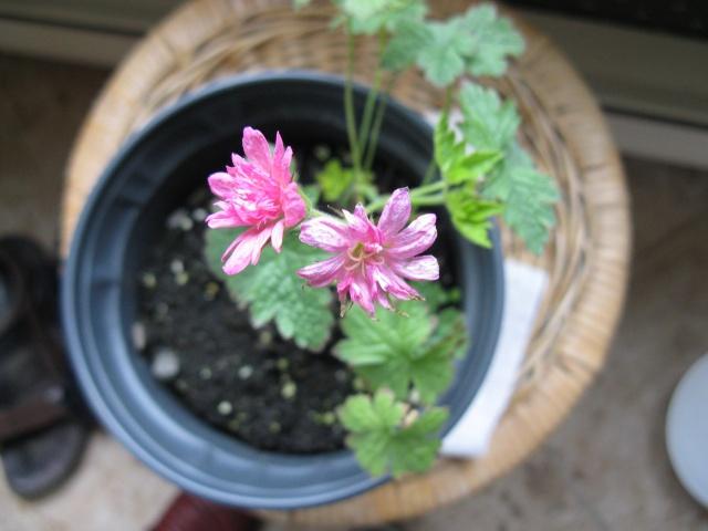 """Une trouvaille sans nom - """" Geranium oxonianum Southcombe Double """" (trouvé) Img_6110"""