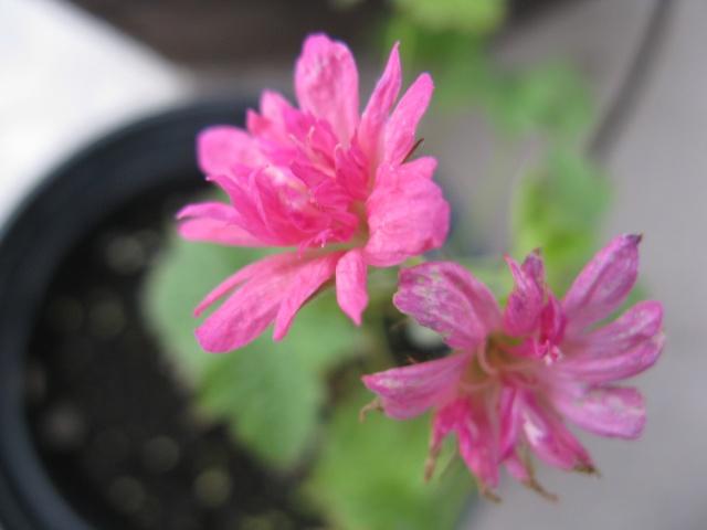 """Une trouvaille sans nom - """" Geranium oxonianum Southcombe Double """" (trouvé) Img_6111"""