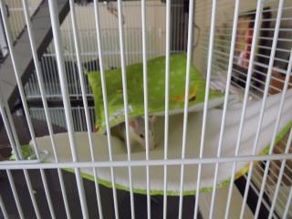 Voici la cage de mes pepettes Cage_019