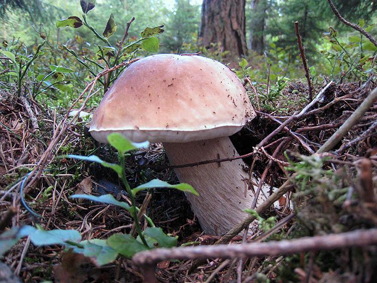 О грибах (что, где, когда?) - Страница 5 Latesu10