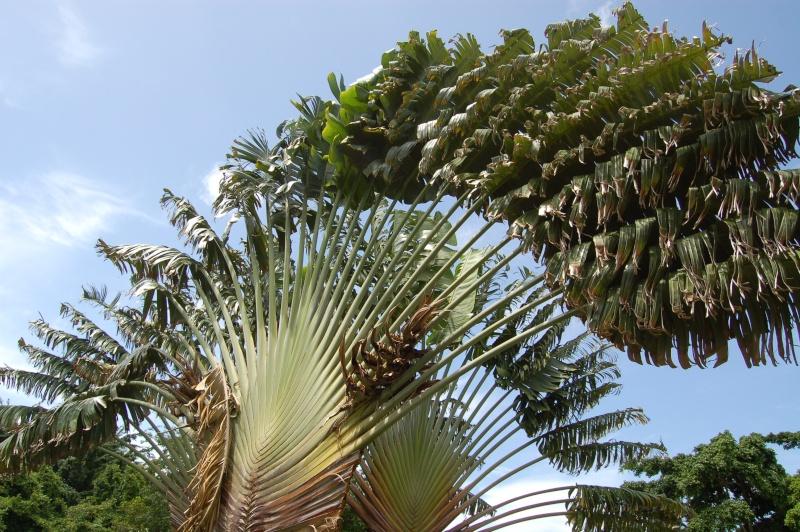 l'arbre du voyageur Dsc_0019
