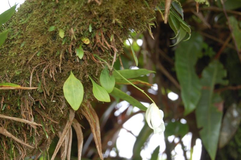 Utricularia alpina Dsc_0115