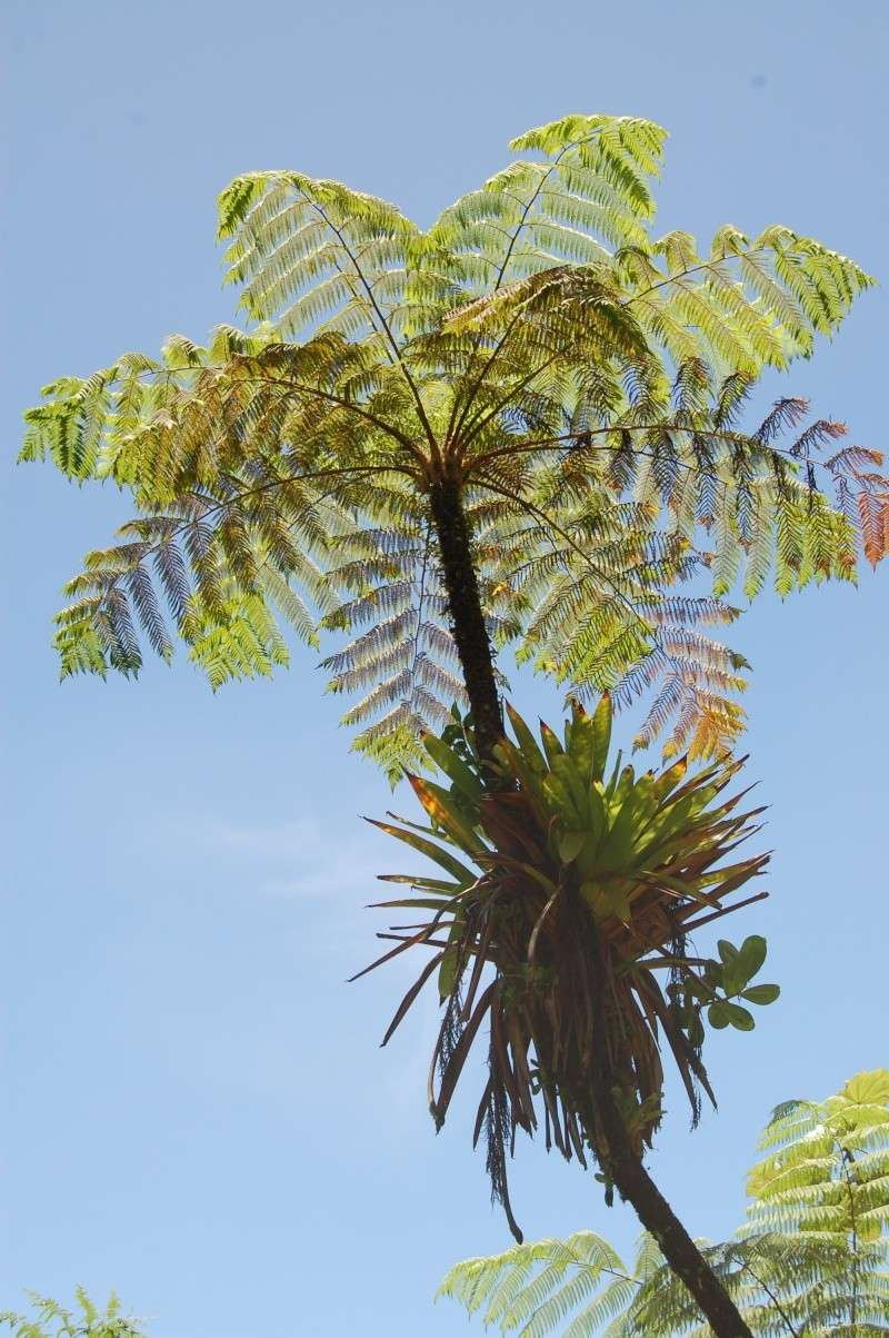Cyathea (grandifolia?) Dsc_0510