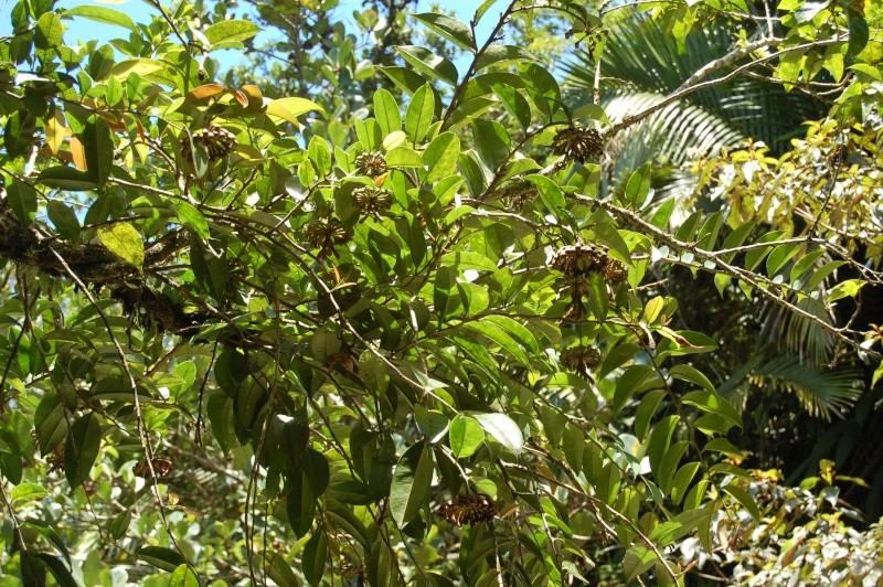 Marcgravia umbellata Dsc_0512